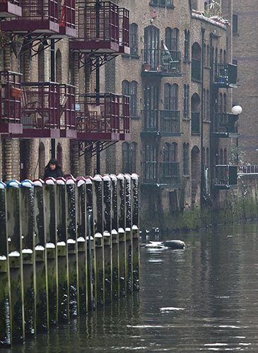 A seal visiting St Saviour's Dock at High Tide. Photo by Lars Plougmann