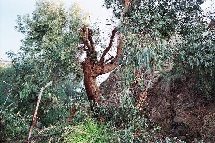 Arbre – Ağaç, wild eucalyptus, Kemeraltı, Izmir, Turkey, January 2015. Photograph by Carmen Bouyer.